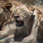 Tre leoni storditi dalla calura - Ngorongoro Crater