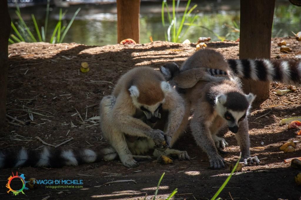 I lemuri del progetto di recupero del Lemuria Land Park