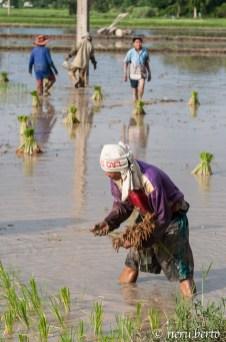 Laos riso