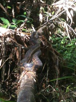 Serpente Australia