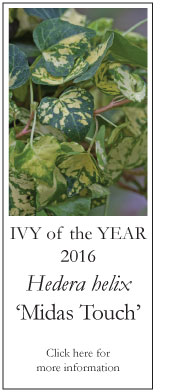 Ivy of the Year