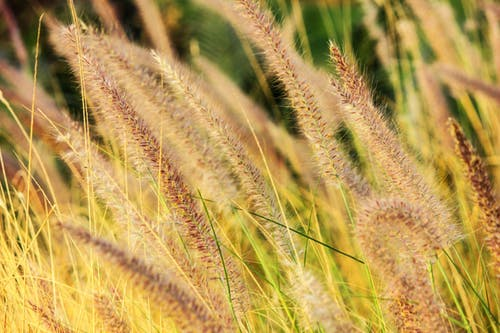 麦、この福音的なるもの(1)