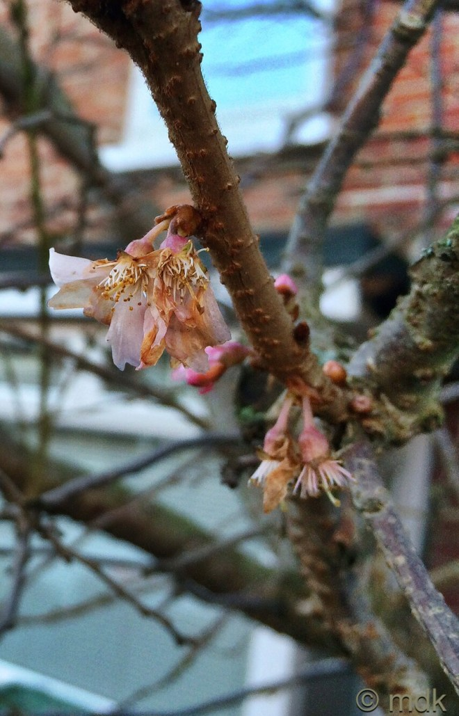 Frost scorched blossom