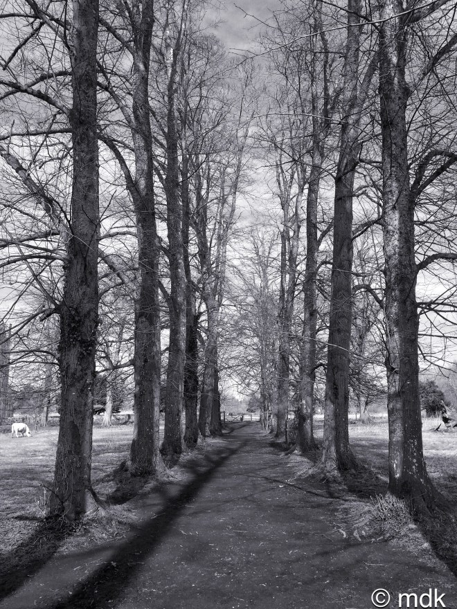 Avenue of trees, St Cross Hospital