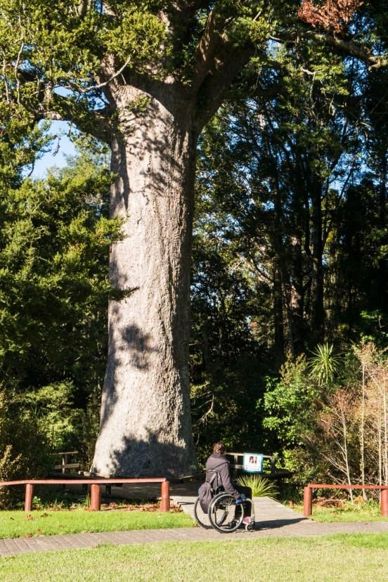 Le kauri McKinney âgé de 800 ans.