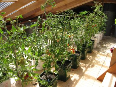 Growing tomatoes in the solar attic, July 2009