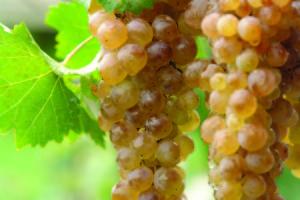 White grape varieties Georgia IWINETC 2014