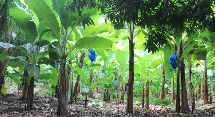 A banana farm in St. Vincent and the Grenadines. (IWN photo)
