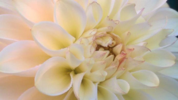Dahlia crème