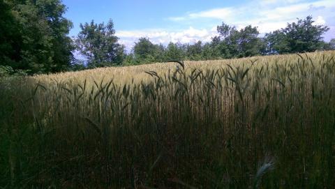 J'aime le blé - Crédit photo izart.fr