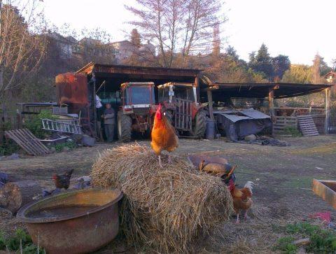 Le coq est roi sur son fumier - Crédit photo izart.fr