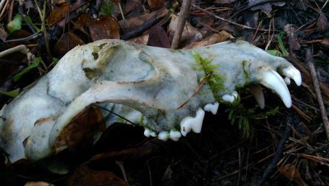 A qui le crâne au fond des bois - Crédit photo izart.fr