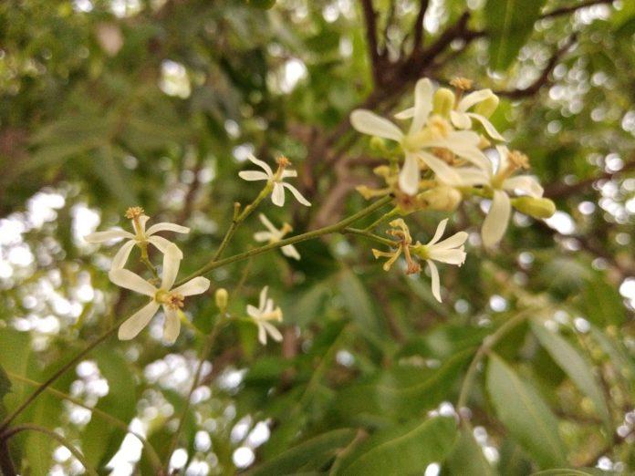 L'arbre à neem plus puissant que le lobbie agrochimique - Crédit photo izart.fr