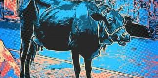 Les vaches n'ont pas d'état d'âme - Crédit photo izart.fr