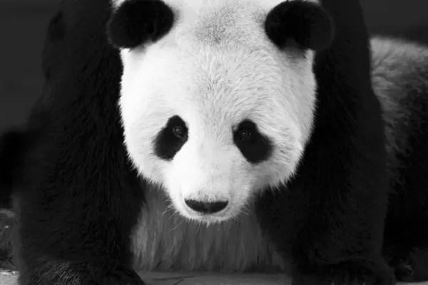 Papier Peint Design Noir Et Blanc Panda Izoa