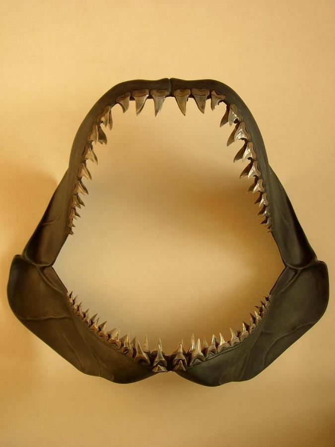 Haaienkaak 3D model van de isurus Escheri. De echte fossielen escheri tanden zijn zorgvuldig gedetermineerd en vervolgens een een epoxy reconstructie vastgezet. Perfect voor een haaien show of tentoonstelling tbv educatie voor de bezoekers