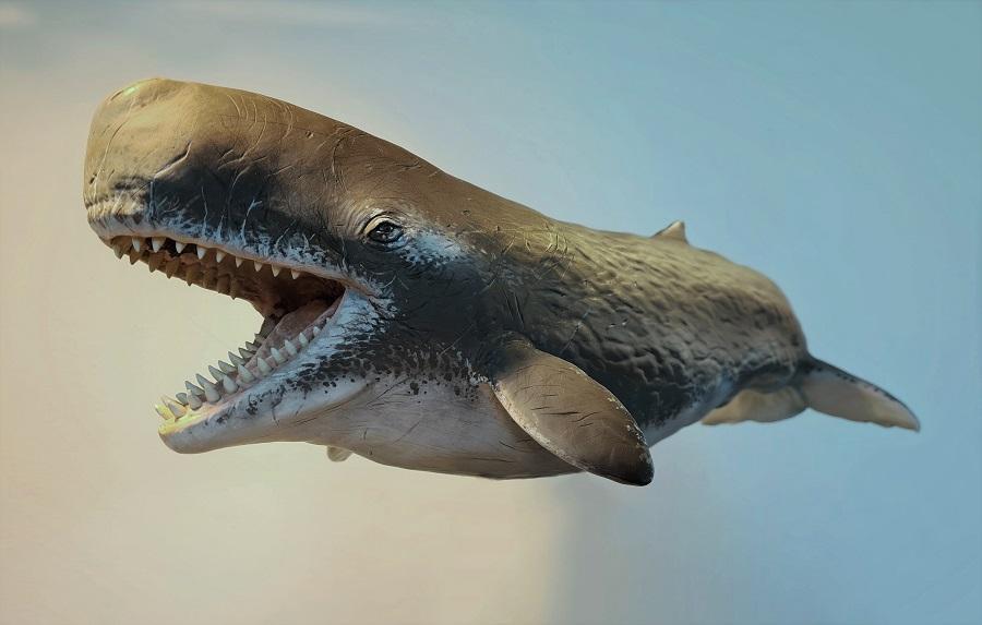 Schaalmodel Livyatan uitgestorven walvis tbv geologisch museum, dierenpark en educatiecentrum