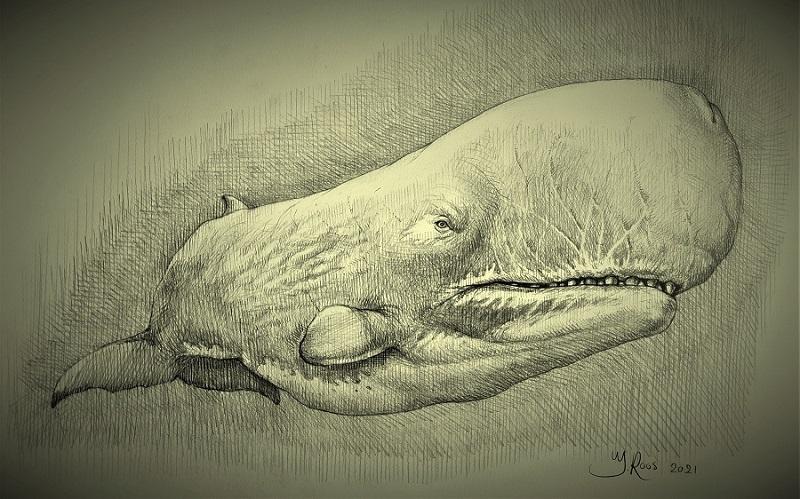 Tekening gebaseerd op fossiel schedels van de Livyatan