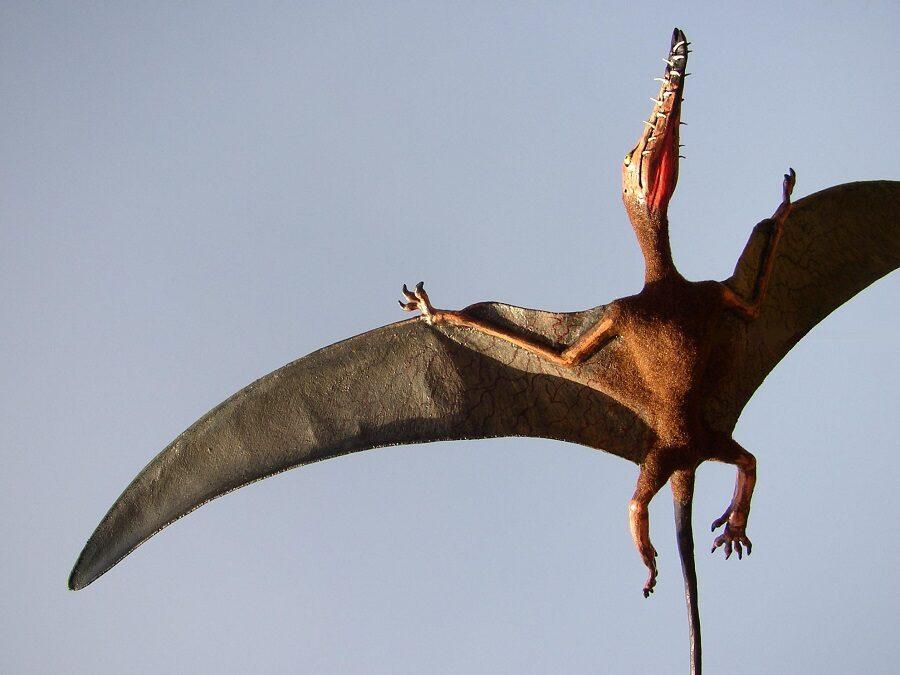 Pterosaurus Rhamphorhynchus sculptuur 40 cm spanwijdte, vliegende dino 3D model