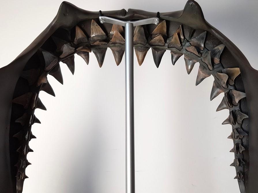 Haaienkaak reconstructie van echt fossielen haaientanden, de isurus hastalis tanden. De haaientanden zijn opgegraven in Mill