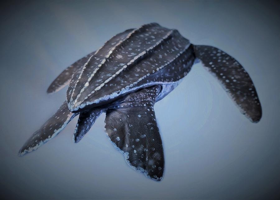 Diermodel schildpad 3D gescand voor een film. Het beeldhouwwerk staat tentoon in museum Historyland