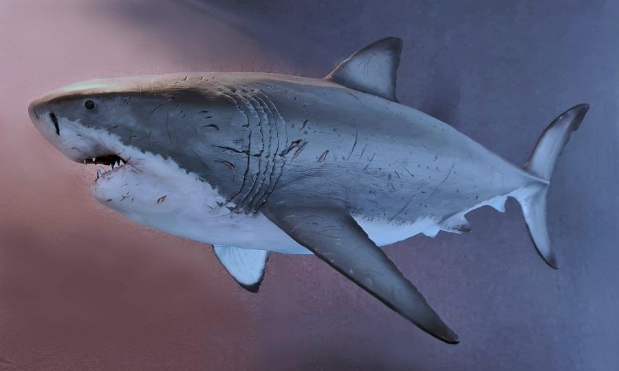 3 D model megalodon prehistorische haai wetenschappelijk correct voor scholing, dierentuinen en pretparken