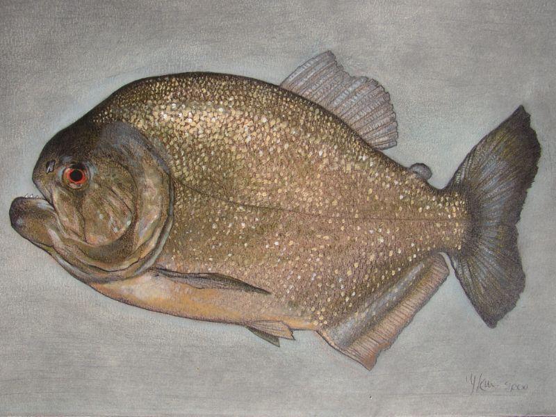 schilderij van een piranha getekend door jaap roos