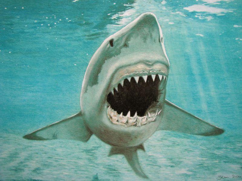 Illustratie witte haai in ondiep water.