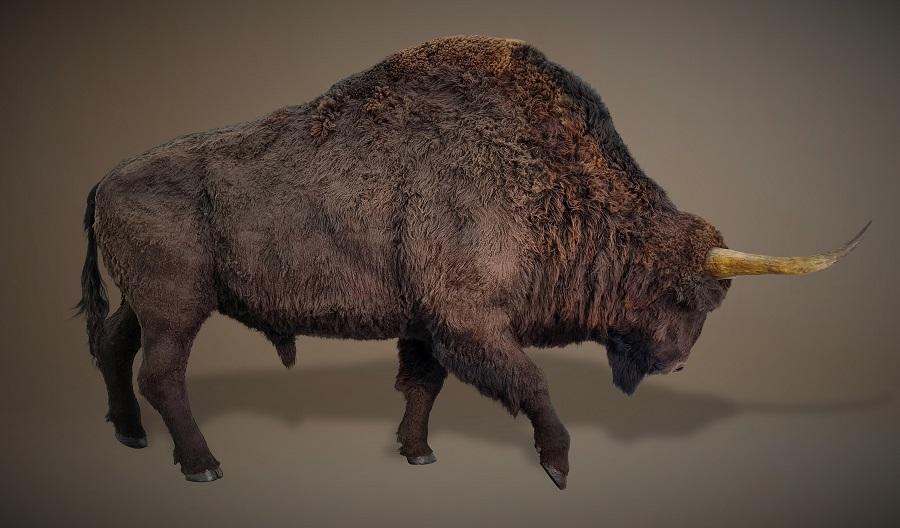 Sculptuur van de steppe wisent. Dit museumstuk van de Bison priscus staat tentoongesteld in historisch museum Historyland. Wetenschappelijke reconstructie gemaakt door Jaap Roos