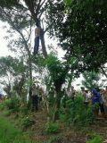 Terbelit Hutang, ARD Gantung Diri Di Pohon Sengon