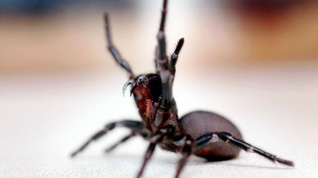 Araña de embudo de Sydney
