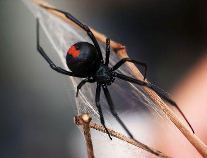 Araña de espalda roja Australia
