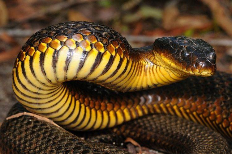 Serpiente tigre australiana