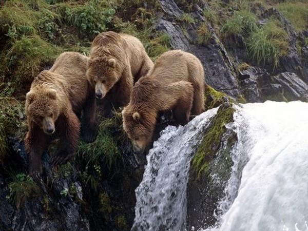 Osos Islas Kodiak