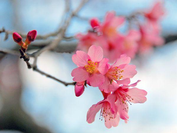 Paisaje de primavera - flores de cerezo