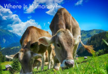 Essay on Cows, problems of cows, how cows are treated, where is humanity, Humans Using Cows As Tissue Paper