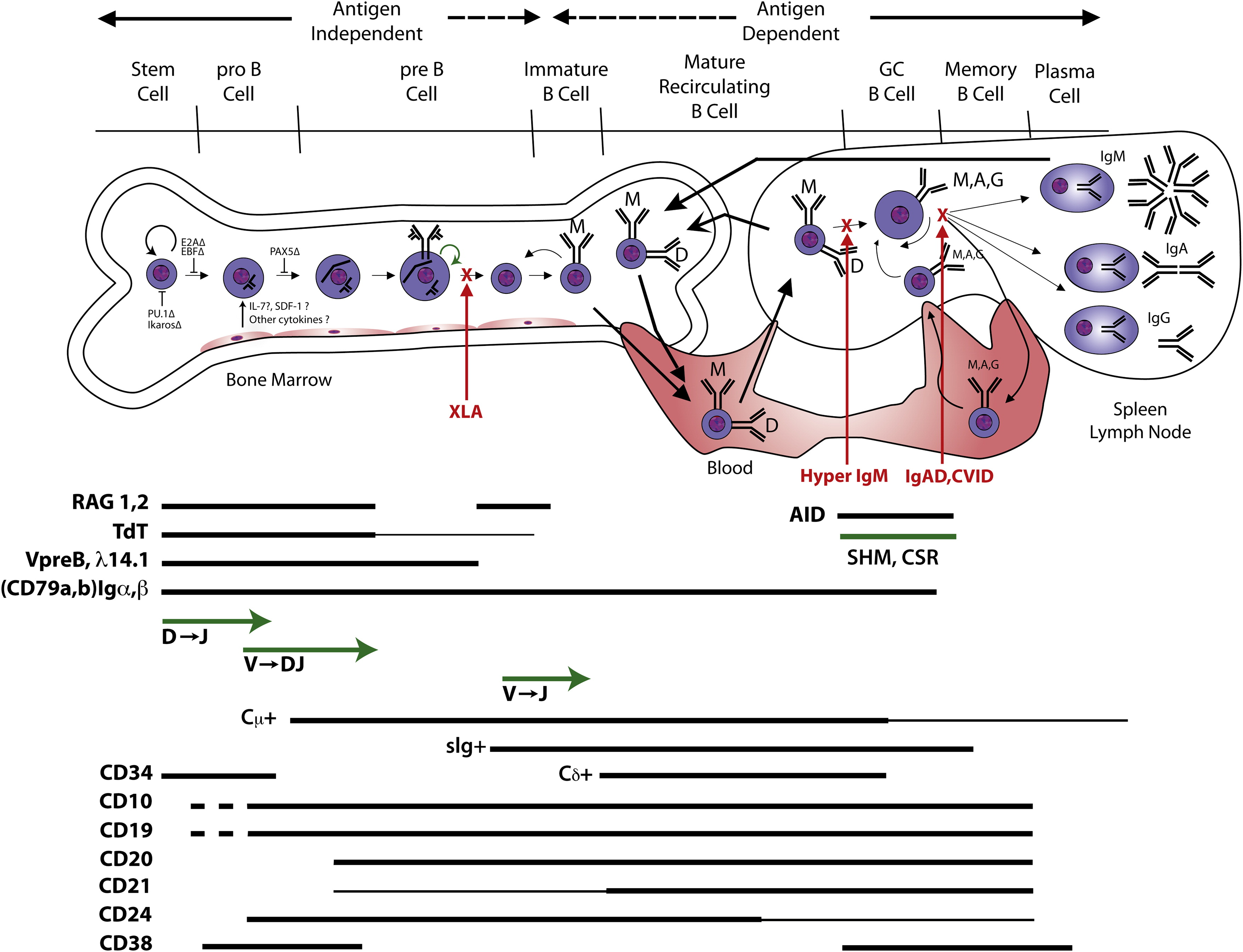 Clinical Consequences Of Defects In B Cell Development
