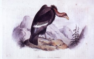 """The Once and Future Columbia River Condor"" by Jack Nisbet"