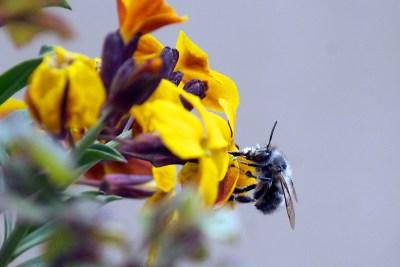 A Bee on a Flower | Μέλισσα σε Λουλούδι
