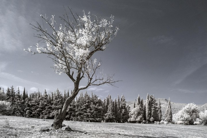Solitary Tree (Simple Colour Infrared)