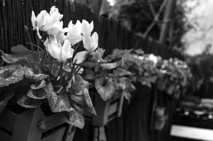 Happy New Year (White Cyclamens)