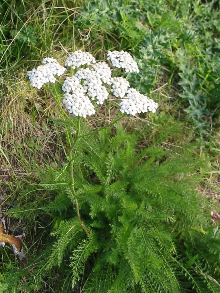 yarrow salve | herbal remedies