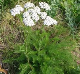 yarrow salve   herbal remedies   Kent   south east   London