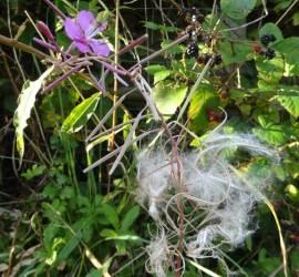 bushcraft uses for Rosebay Willowherb