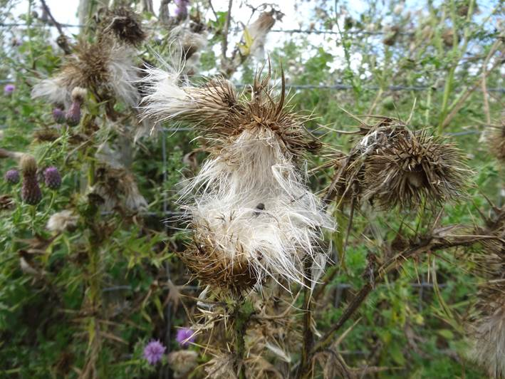 Thistles as a tinder