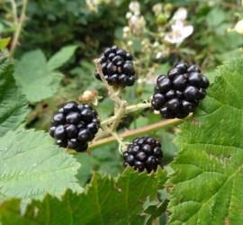blackberries | foraging | Kent | south east | London