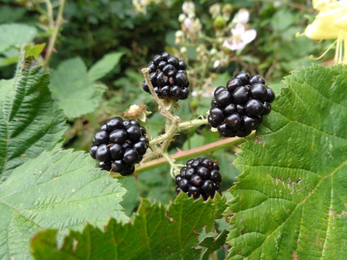 blackberries | foraging | Kent | south east | London