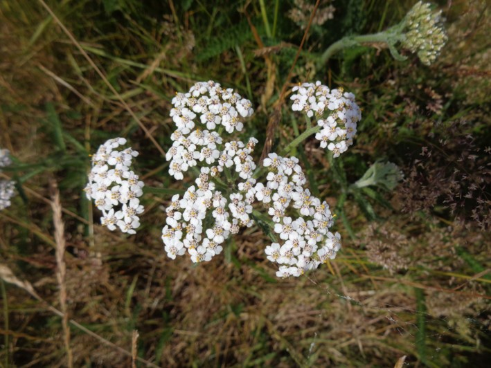 yarrow | herbal remedies | south east | Kent