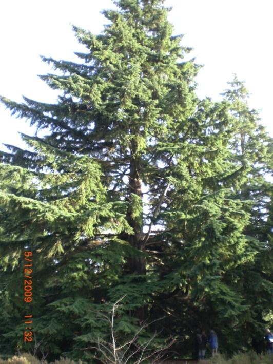 conifers | western hemlock
