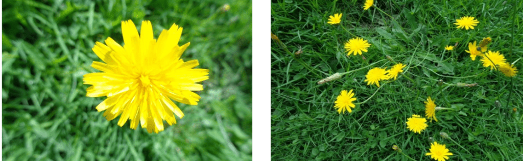 all about dandelions | foraging | herbal remedies | Kent | London | south east